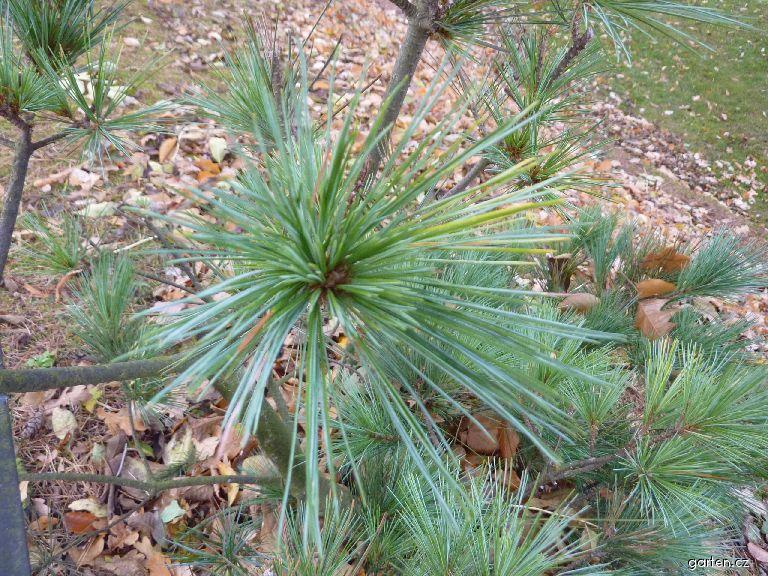 Borovice vejmutovka - jehlice (Pinus strobus Macopin)