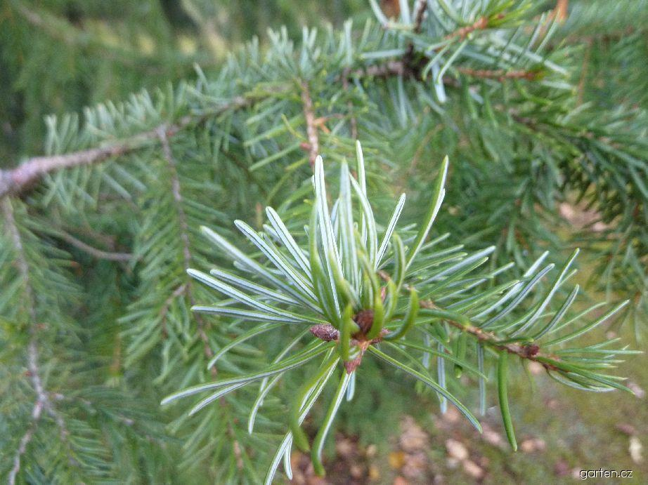 Smrk omorika - jehlice (Picea omorika)