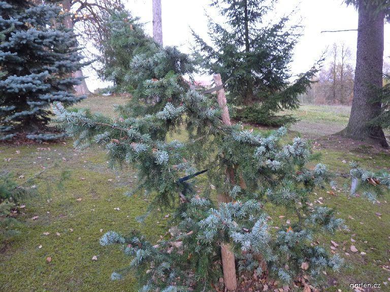 Smrk omorika (Picea omorika Bautzen)