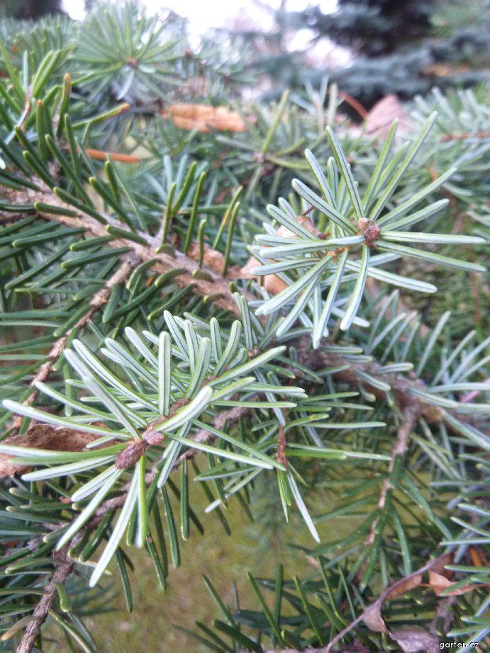 Smrk omorika - jehlice (Picea omorika Bautzen)