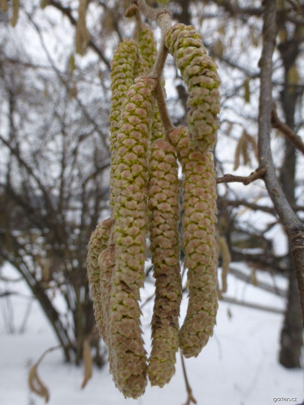 Líska obecná - jehnědy v lednu (Corylus avellana)