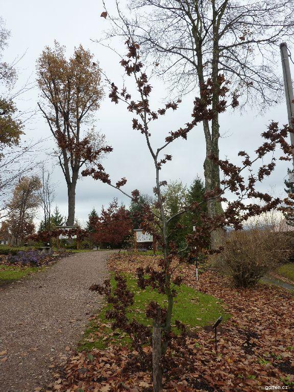 Buk lesní (Fagus sylvatica Cristata)