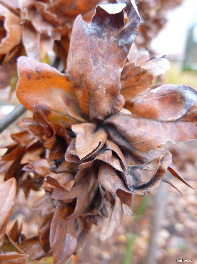 Buk lesní - list (Fagus sylvatica Cristata)