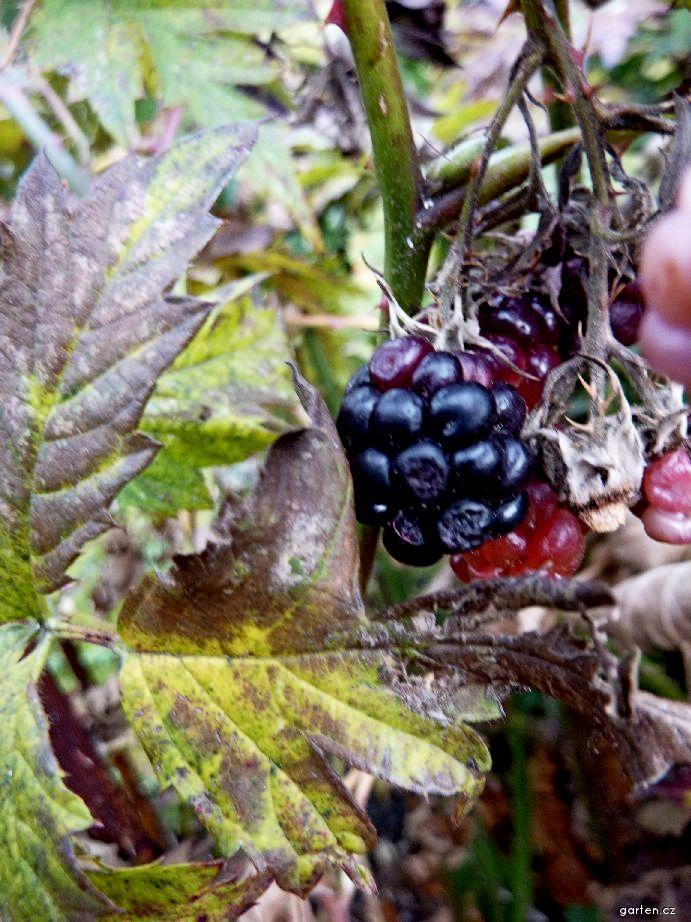 Ostružiník dřípený - plod (Rubus laciniatus)
