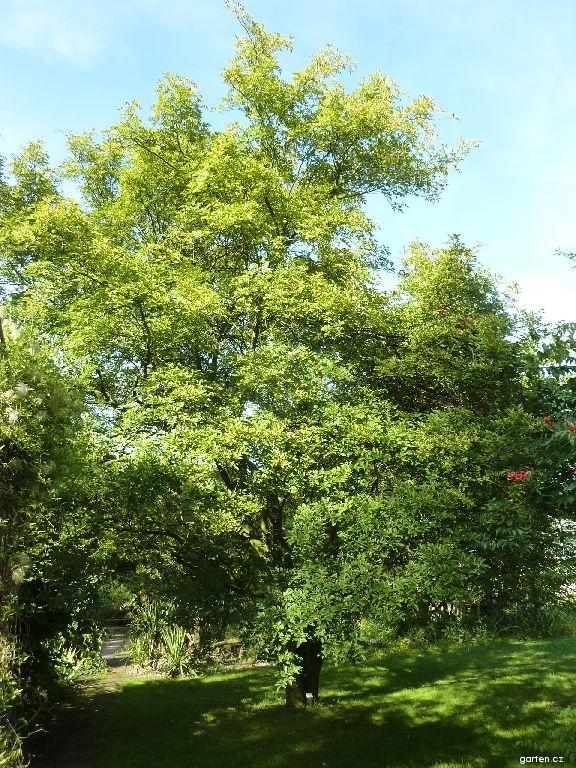 Žlutodřev (Zanthoxylum armatum)
