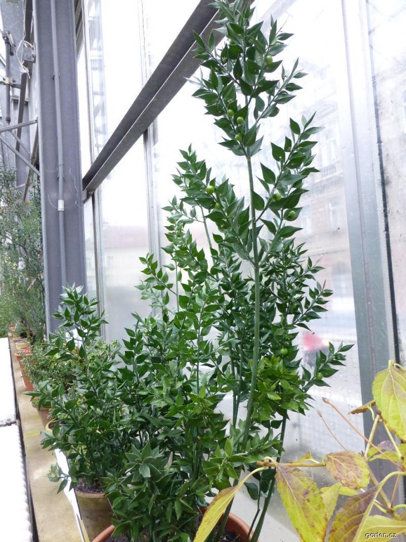 Forum obr zek listnatec ostnit ruscus aculeatus for Garten forum