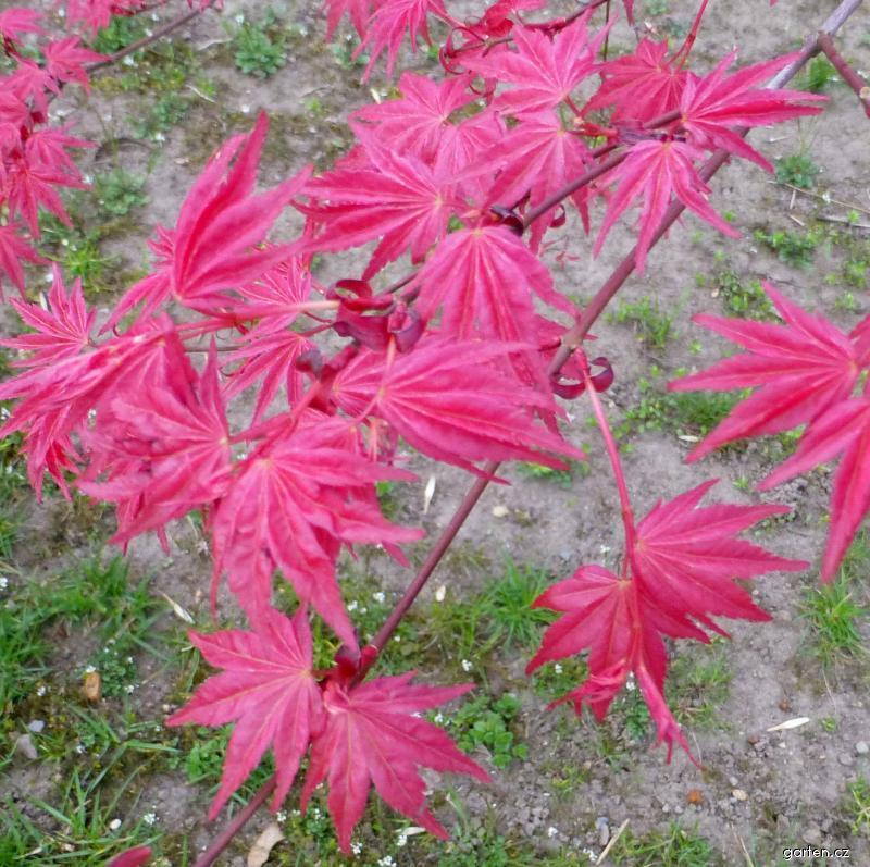 Javor dlanitolistý Corallinum - mladé listy (Acer palmatum)