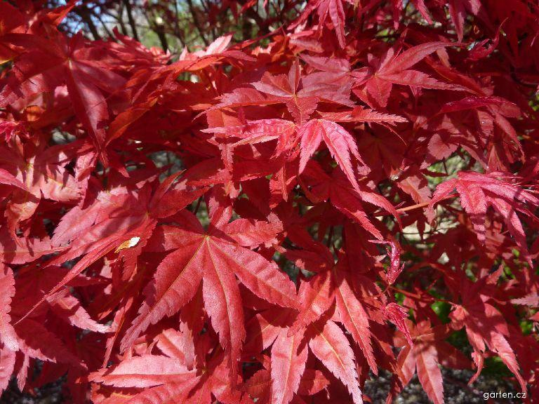 Javor dlanitolistý Corallinum - list (Acer palmatum)