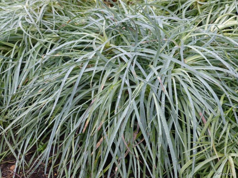 Karafiát zahradní Floristan White - přezimující rostlina (Dianthus caryophyllus)