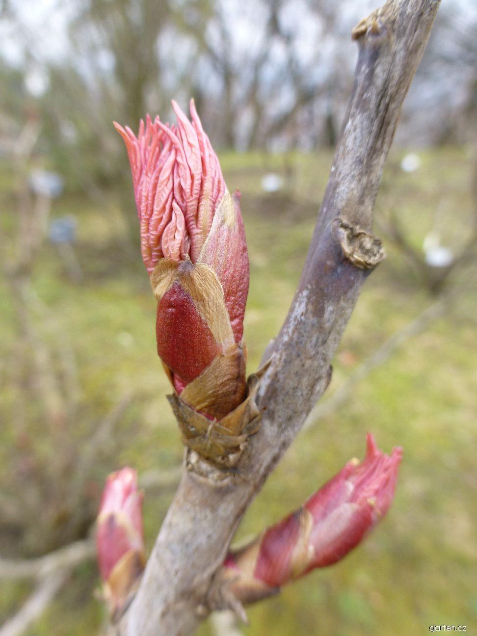 Pivoňka keřovitá Koikakura - rašení listů (Paeonia suffruticosa)