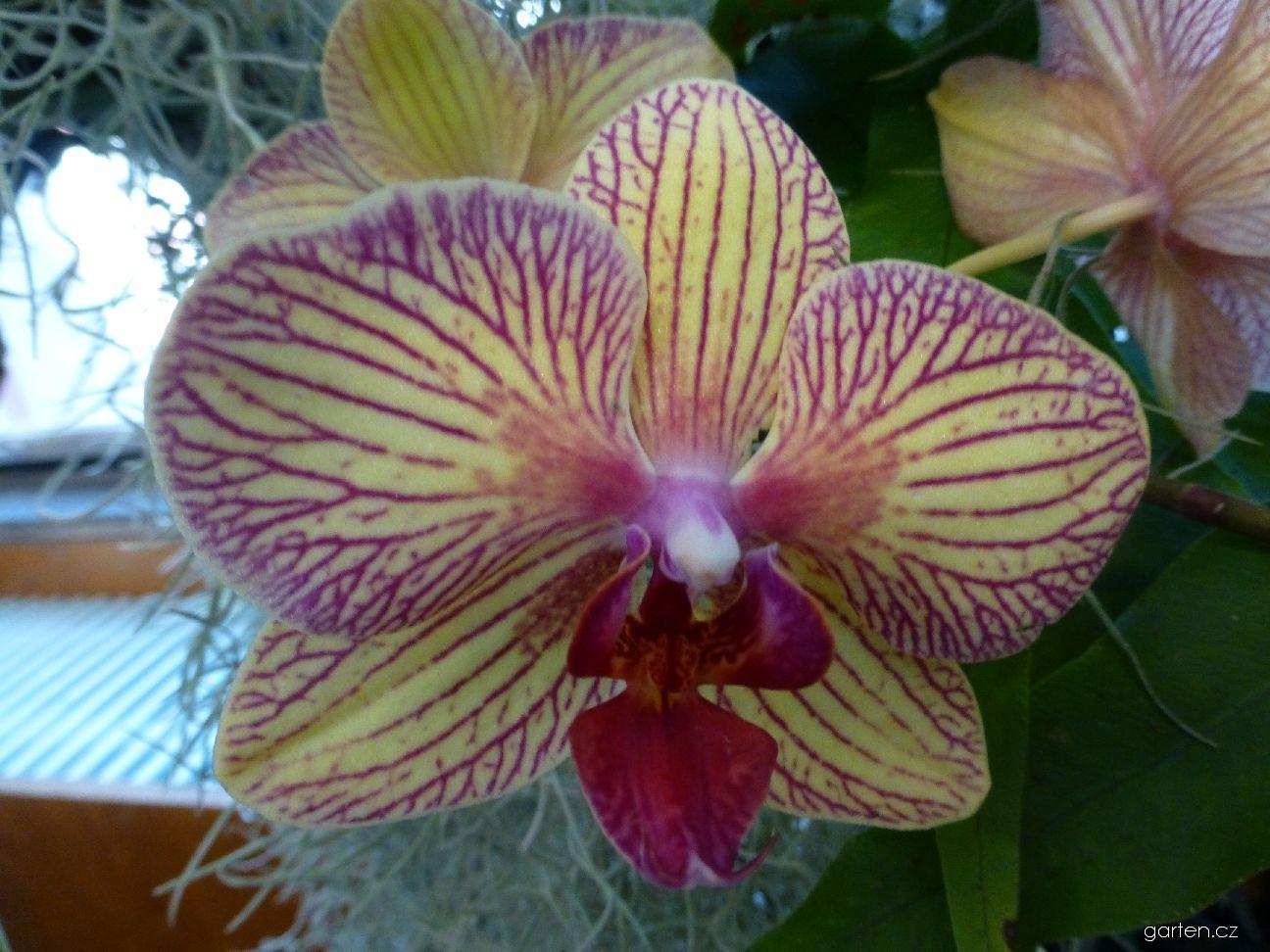 Falenopsis - květ (Phalaenopsis)