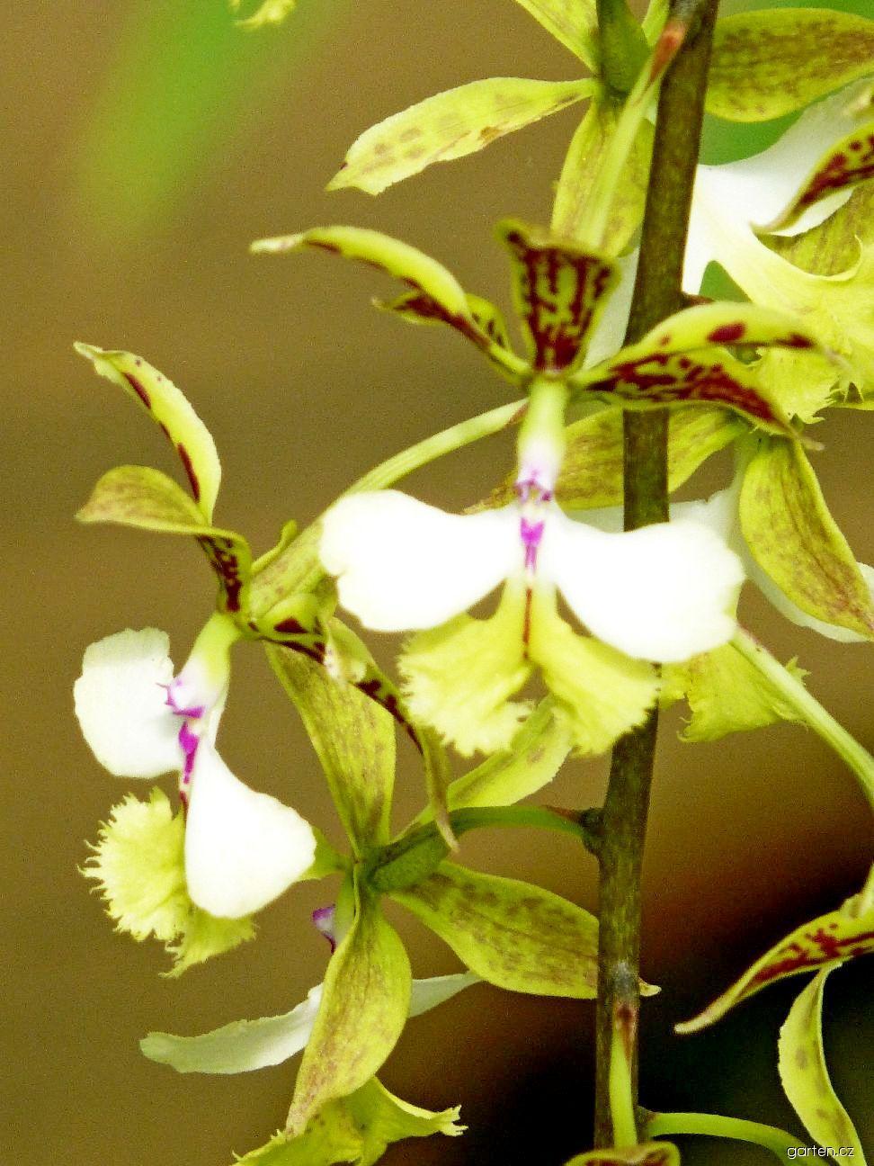 Epidendrum - květ (Epidendrum stamfordianum)