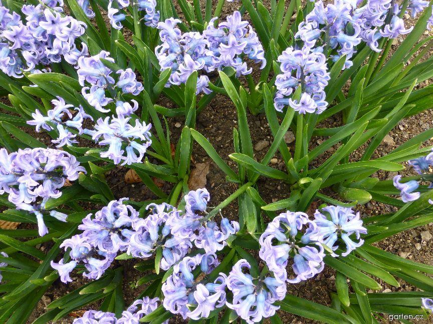 Hyacint východní Sky Jacket (Hyacinthus orientalis)