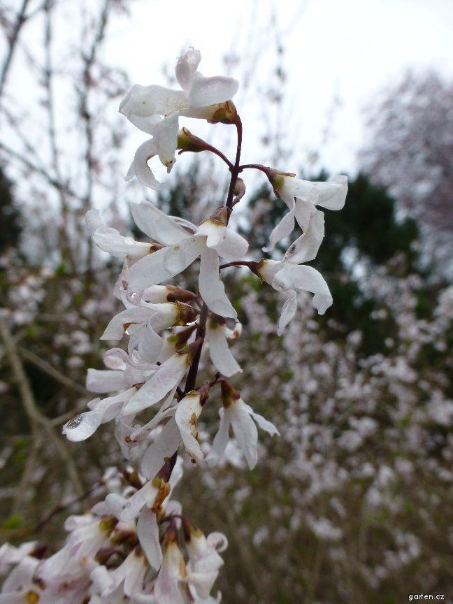 Abeliovník dvouřadý - květ (Abeliophyllum distichum)