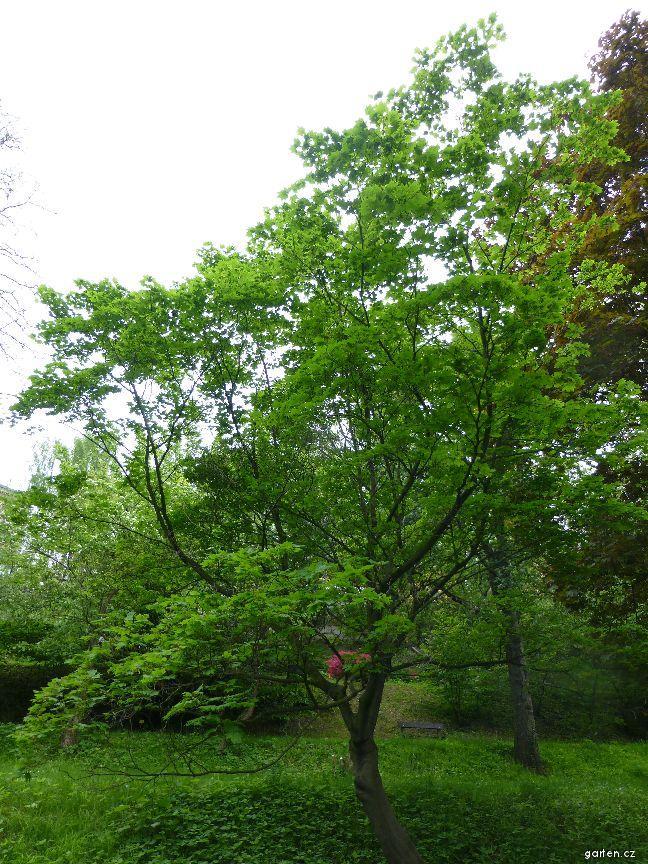 Javor okrouhlolistý (Acer circinatum)
