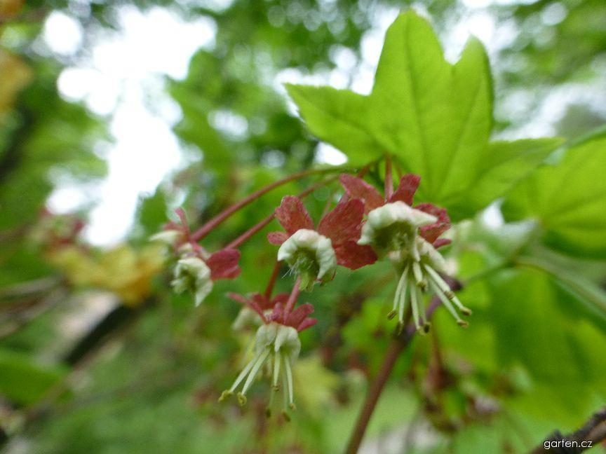 Javor okrouhlolistý - květ (Acer circinatum)