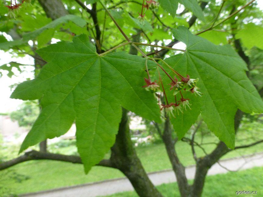 Javor okrouhlolistý - list a květ (Acer circinatum)