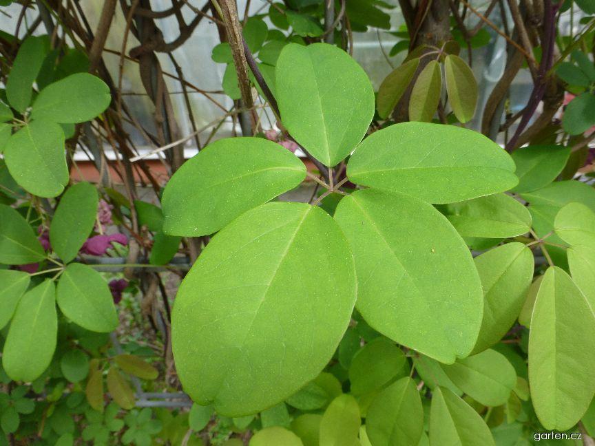 Akébie pětičetná - list (Akebia quinata)
