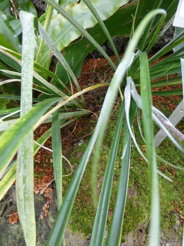 Pitcairnia - list (Pitcairnia yaupi-bajaensis)