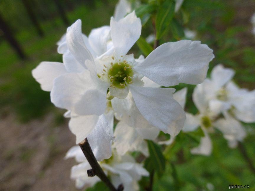 Hroznovec Korolkovův - květ (Exochorda korolkowii)