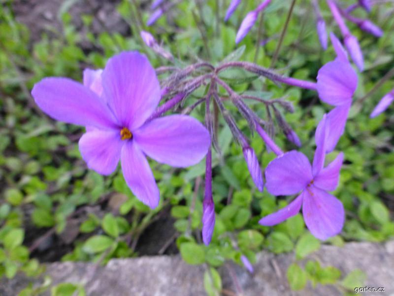 Plamenka výběžkatá Potters Purple (Phlox stolonifera)