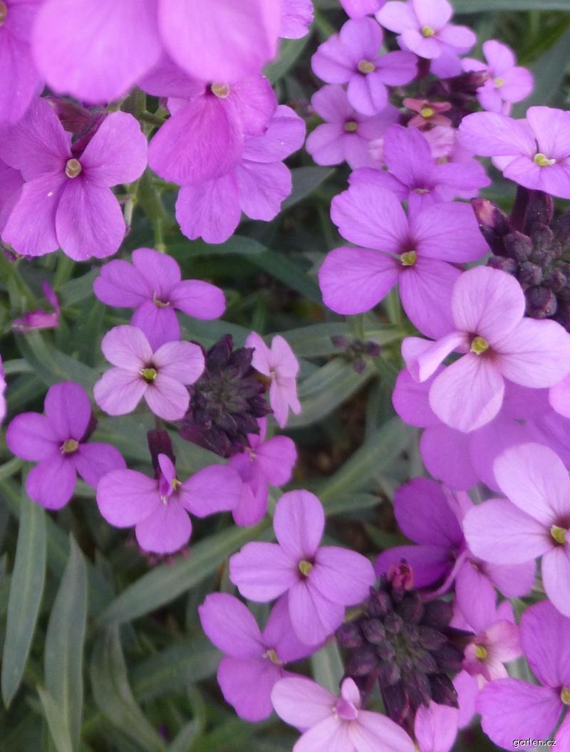 Trýzel Bowles Mauve - květ (Erysimum hybridum)