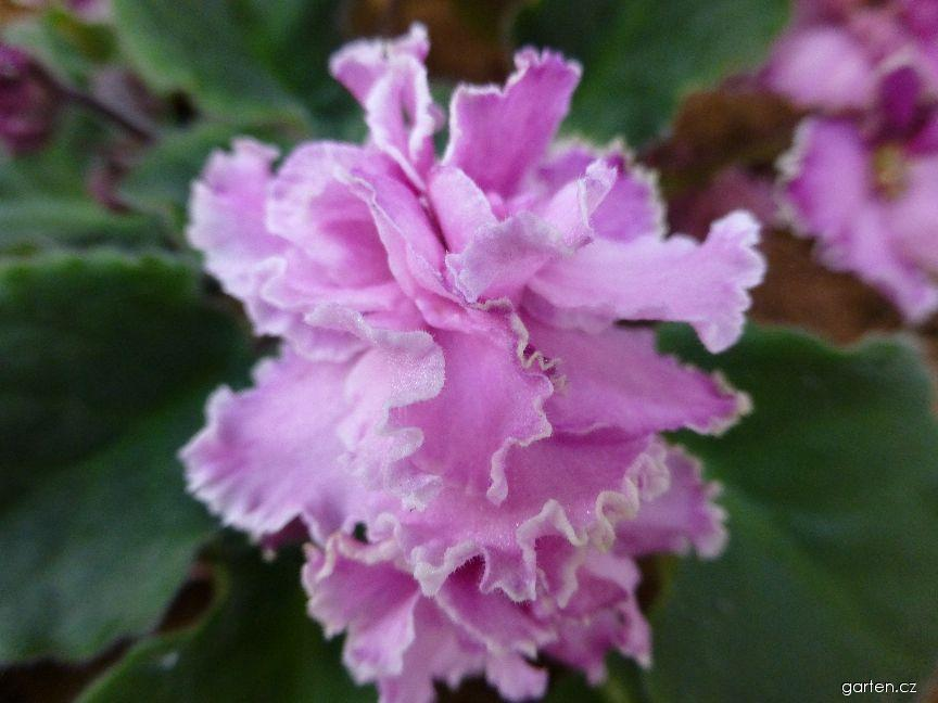 Africká fialka Critics Choice - květ (Saintpaulia ionantha)