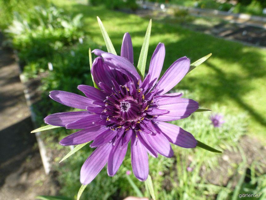 Kozí brada pórolistá - květ (Tragopogon porrifolius)