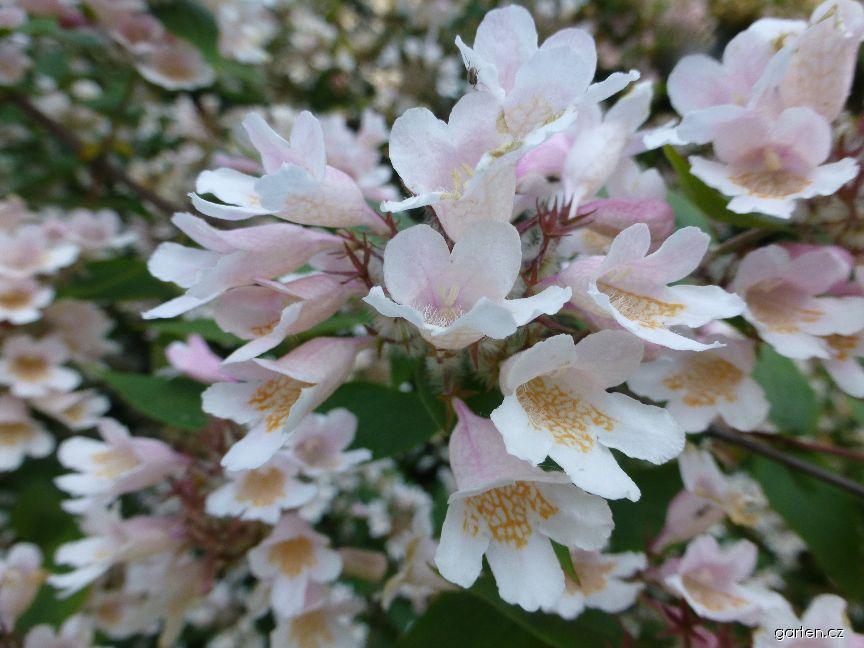 Kolkwitzie krásná - květ (Kolkwitzia amabilis)