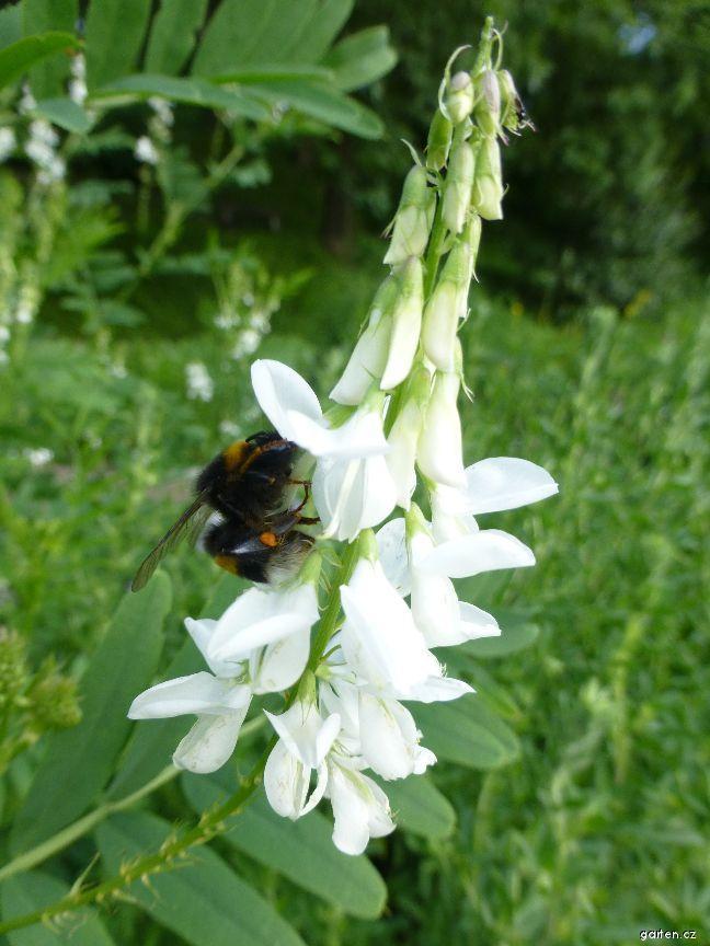 Jestřabina lékařská - květ (Galega officinalis)