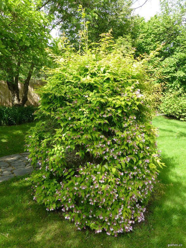 Kolkwitzie krásná Maradco (Kolkwitzia amabilis)