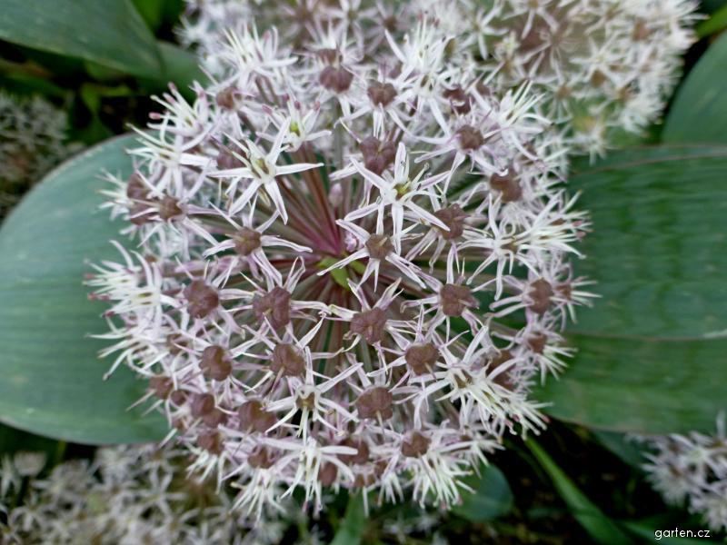 Česnek karatavský - květ (Allium karataviense)