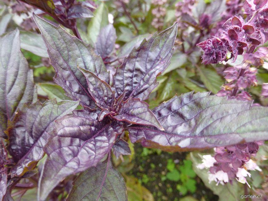 Bazalka pravá Ararat (Ocimum basilicum)
