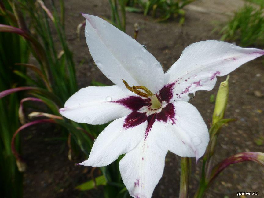 Acidantera dvoubarevná - květ (Acidanthera bicolor)