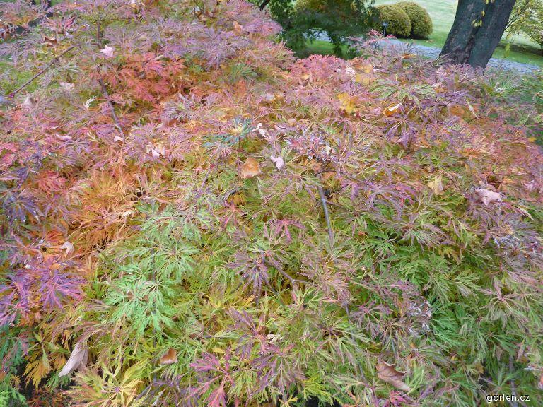 Javor japonský Green Cascade (Acer japonicum)