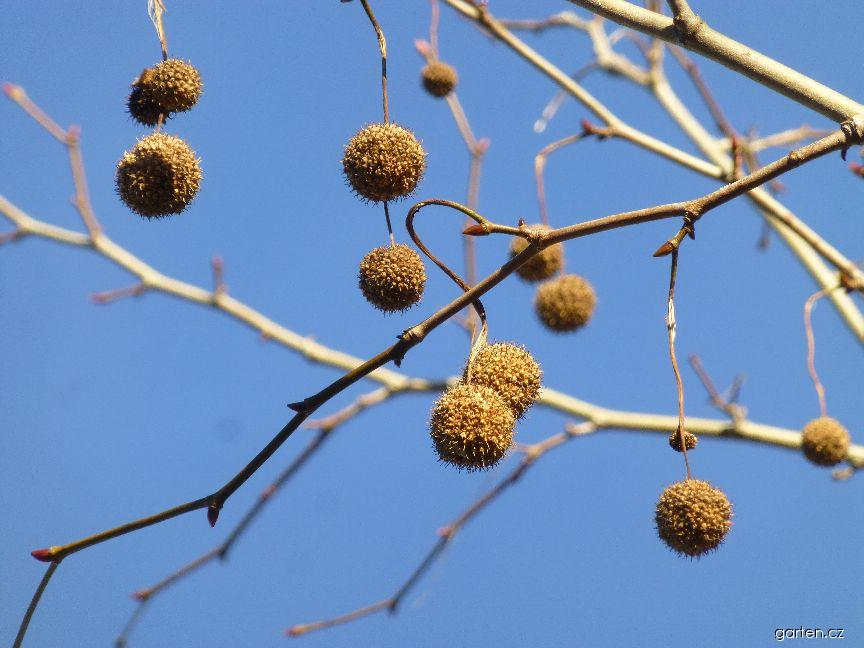 Platan javorolistý - plod v zimě (Platanus x hispanica)