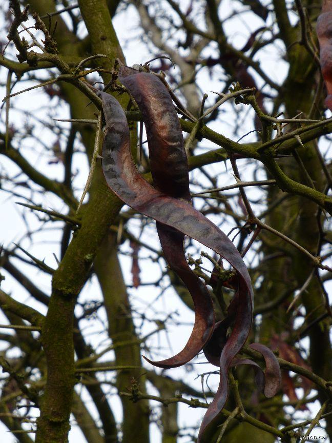 Dřezovec trojtrnný - plod v zimě (Gleditsia triacanthos)