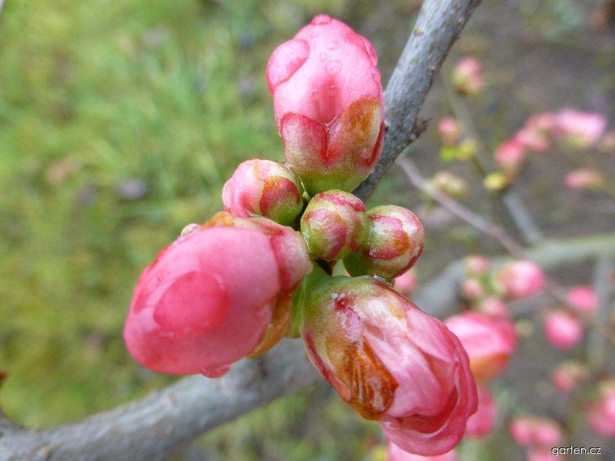 Kdoulovec nádherný Pink Lady - květ (Chaenomeles superba)