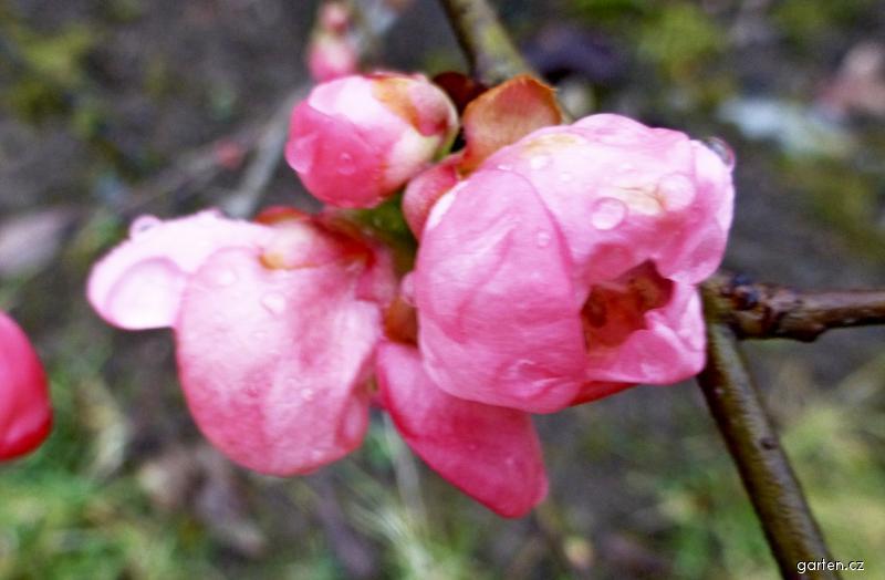 Kdoulovec nádherný Pink Lady - květ v lednu (Chaenomeles superba)