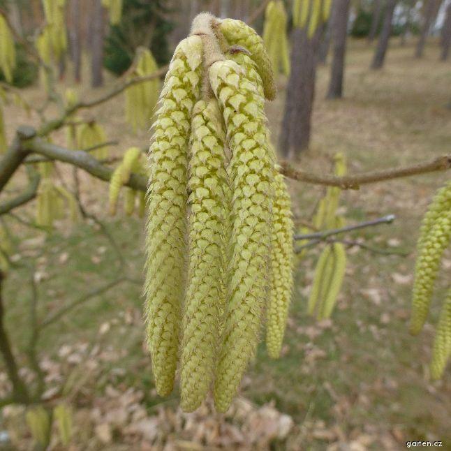 Líska - jehnědy (Corylus yunnanensis)