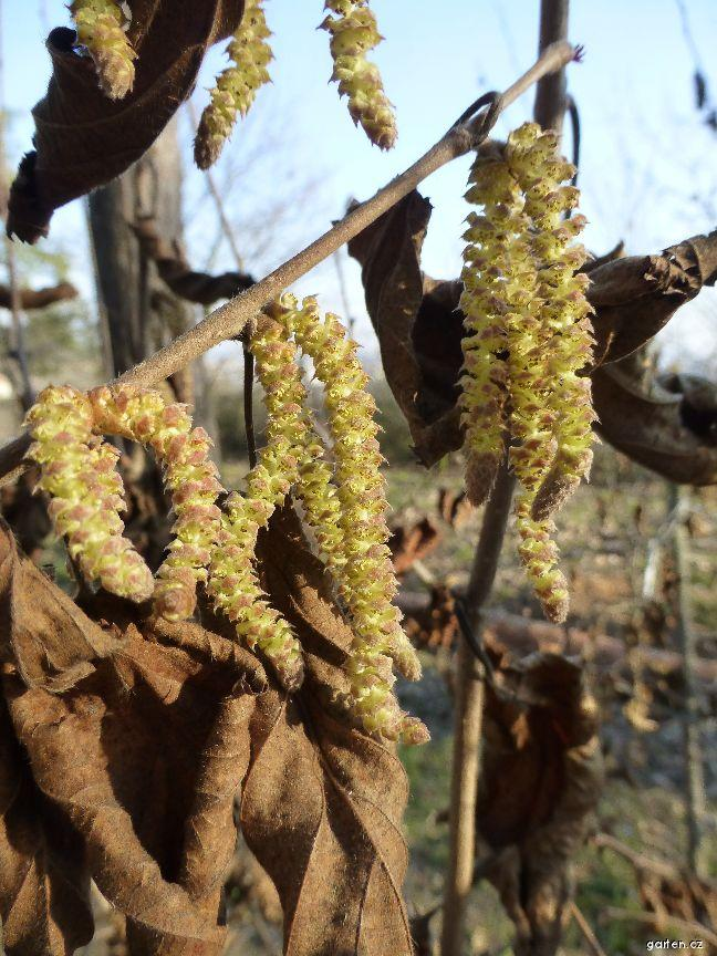 Líska rohatá (Corylus cornuta var californica)
