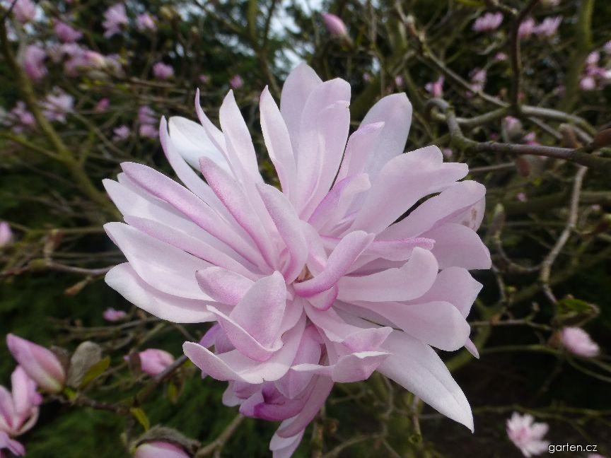 Šácholan hvězdnatý - květ (Magnolia stellata Chrysanthemiflora)