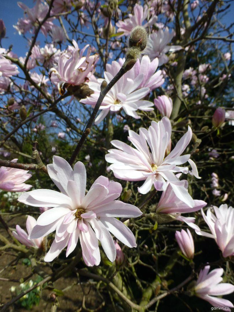 Šácholan hvězdnatý - Magnolia stellata Chrysanthemiflora (Magnolia stellata Chrysanthemiflora)