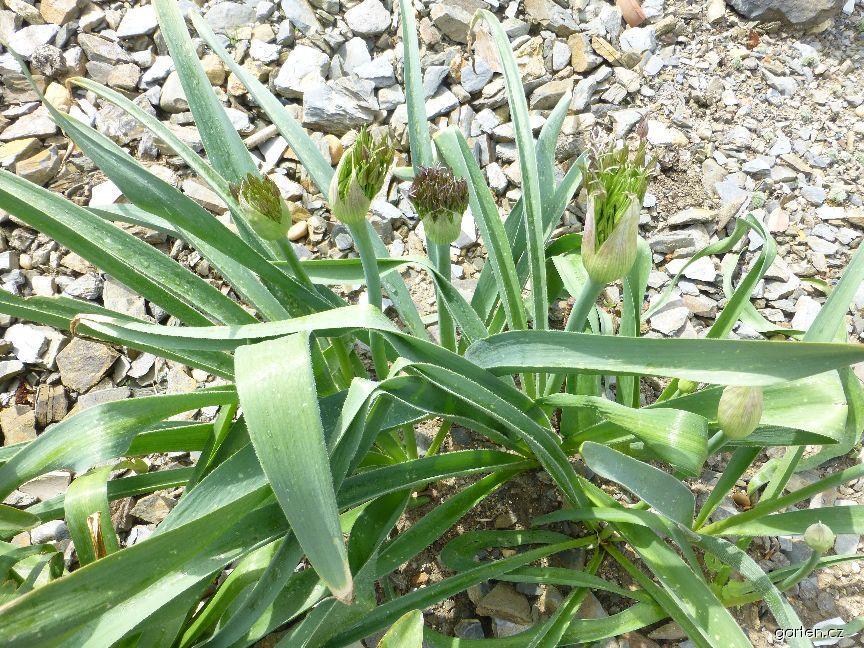 Česnek Christophův (Allium christophii)
