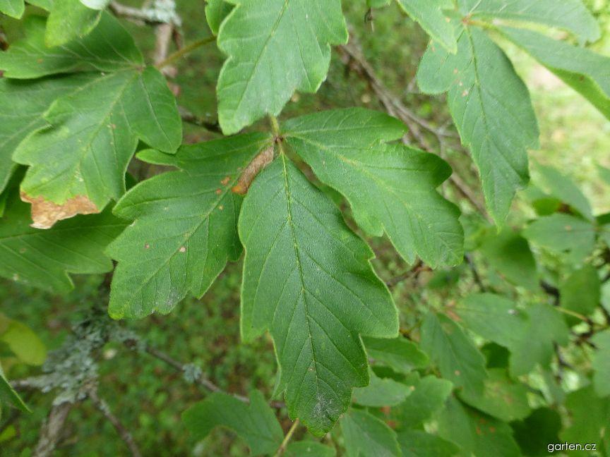 Javor šedý - list (Acer griseum)