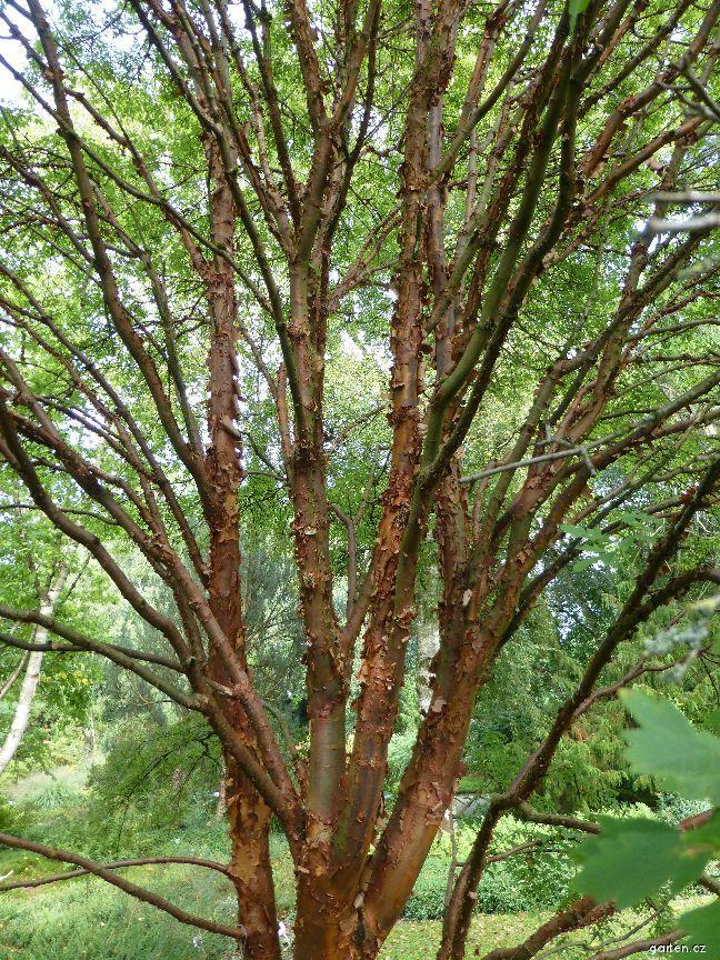 Javor šedý - kmen (Acer griseum)