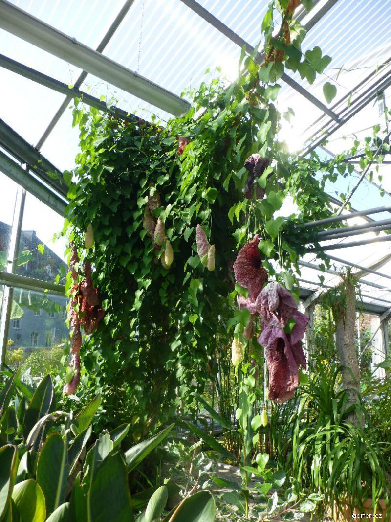 Podražec obrovský (Aristolochia gigantea)
