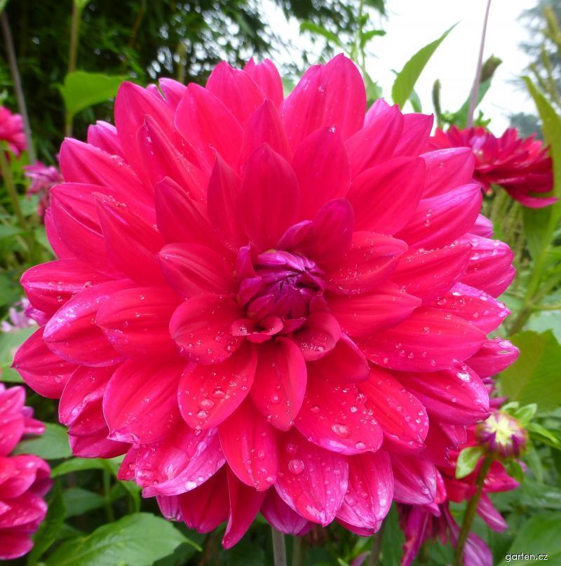 Jiřina zahradní Linzer Klangwolke - květ (Dahlia pinnata)