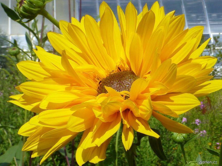 Slunečnice Gullicks Variety - květ (Helianthus atrorubens)