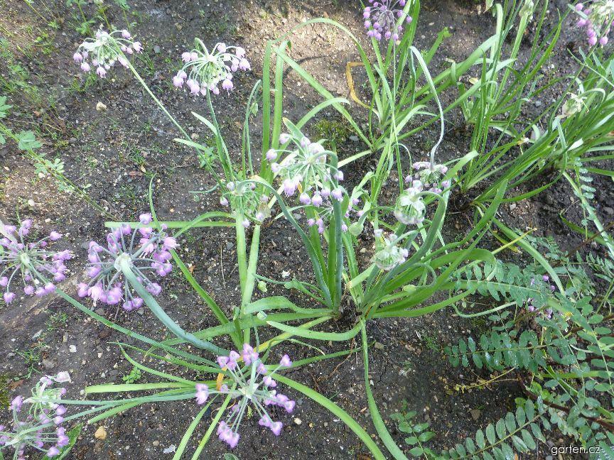 Česnek nicí (Allium cernuum)
